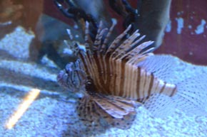 Lionfish at Children's Aquarium at Fair Park Dallas