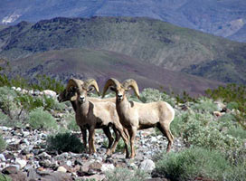 Big horn sheep in Anza Borrego Desert