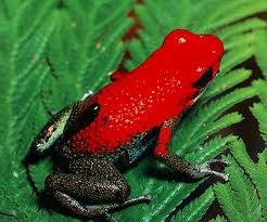 Poisenous Red Tree Frog