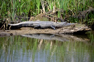 Gator spotted on airboat ride