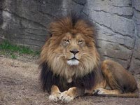 One of the lions at the Waco Zoo