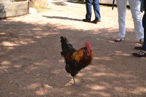 Chicken at Luckenbach