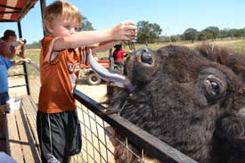 Feeding a water buffalo
