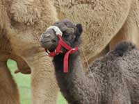 Baby Dromedary Camel at Sharkarosa Ranch