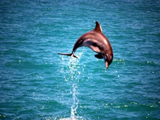 Dolphins in South Padre Island