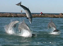 Dolphin playing in Laguna Madre Bay