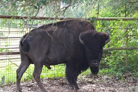 The male bison at BlissWood B&B