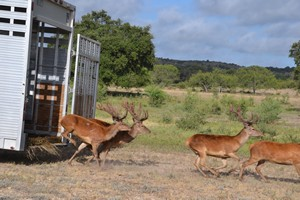 Red Stag being released at Ox Ranch
