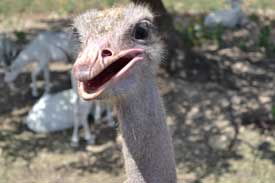 Ostrich at Natural Bridges Wildlife Ranch